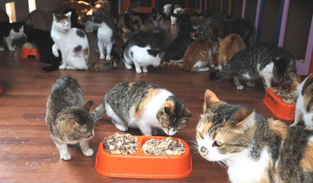 - samsun kedi kasabasi 11 - Mozart'ın Türk Marşıyla Kedilere Yemek Daveti