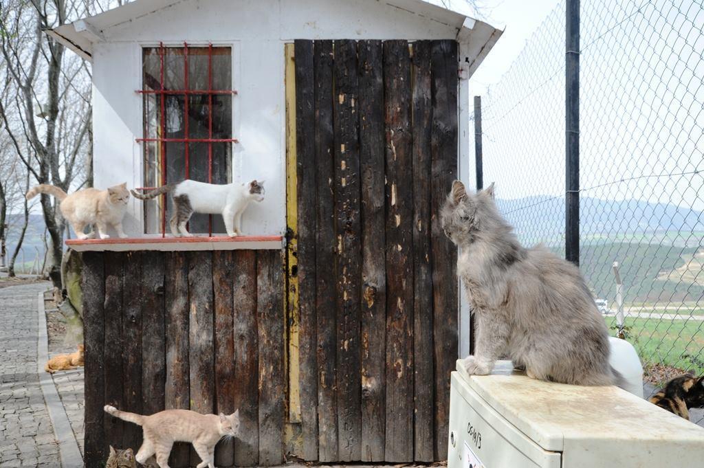 - samsun kedi kasabasi 2 - Mozart'ın Türk Marşıyla Kedilere Yemek Daveti